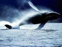 A baleia livre